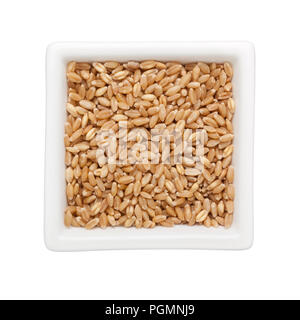 Wheat grain in a square bowl isolated on white background - Stock Image