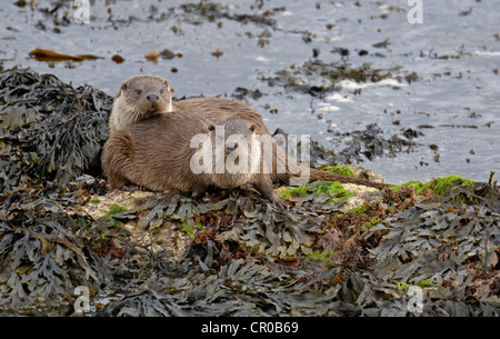 Two Eurasian otters (Lutra lutra) on sea shore, mother and well-grown cub. Shetland Islands. June. - Stock Image