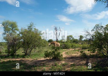 Giraffes and Zebra at Nyamundwa, Kruger National Park, South Africa - Stock Image