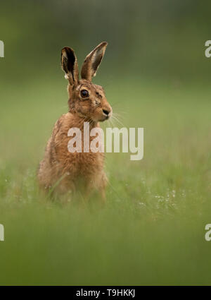 A Brown hare (Lepus europaeus) sitting on the edge of woodland at dawn, Norfolk - Stock Image