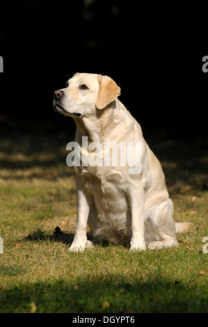 Blonde Labrador-Retriever sitting on a meadow - Stock Image