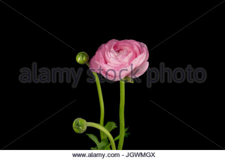 Pink peony flower with petals in detail - Stock Image