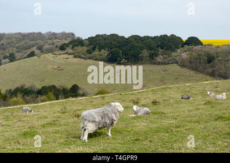 View from the Iron Age Hill Fort at Old Winchester Hill in the South Downs National Park, Hampshire UK with Herdwick sheep grazing the chalk grassland - Stock Image