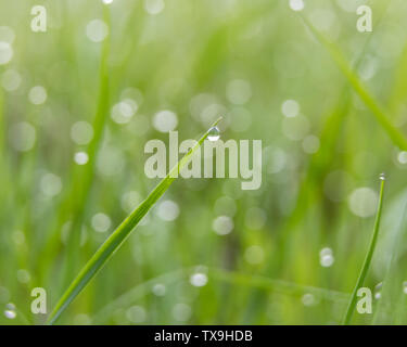 Morning dew drops on grass - Stock Image