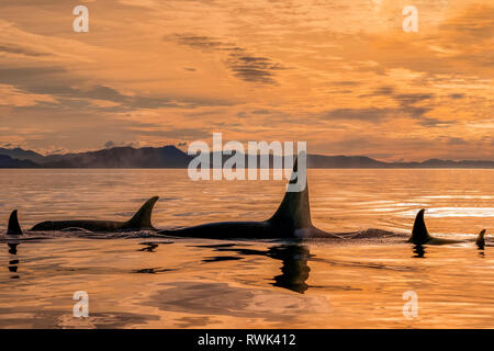 Orca whale (Orcinus orca) pod in Chatham Strait at sunset, Southeast Alaska; Alaska, United States of America - Stock Image