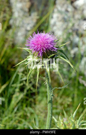 Silybum marianum (milk thistle) was native to Southern Europe and Asia. it is now found throughout the world and considered to be invasive. - Stock Image