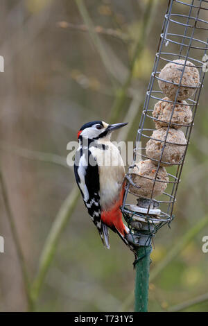 Great Spotted Woodpecker, Dendrocopos major on a fat ball feeder, YWT Adel Dam, Leeds, West Yorkshire, England, UK. - Stock Image