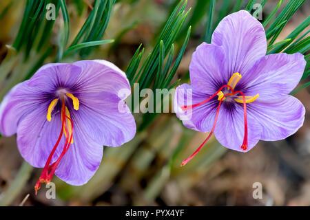 Saffron crocus sativus purple flowers - Stock Image