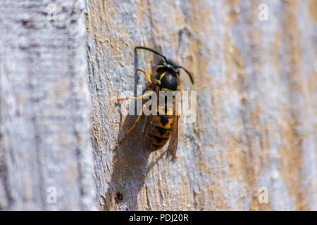 Common Wasp Vespula vulgaris on a dry wooden fence panel chewing and gathering the wood for nest building - Stock Image