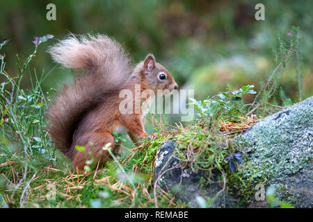 Bushy tailed red squirrel close up Sciurus vulgaris in profile  on the ground among mosses and forest plants - Stock Image