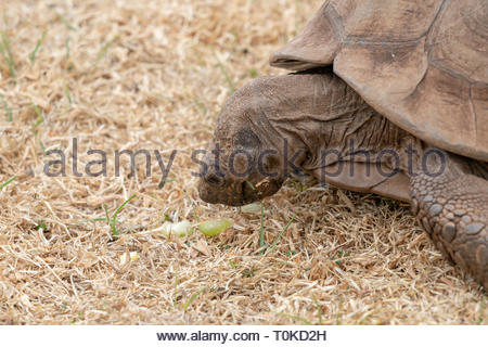 African Spurred Tortoise (Centrochelys sulcata), taken in South Africa - Stock Image