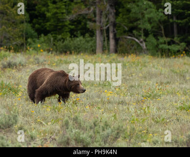 Profile of Grizzly Bear Shows Her Strength in Summer Field - Stock Image