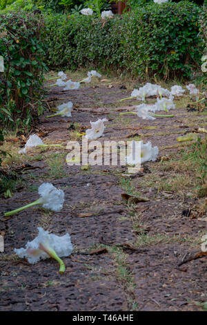 White Dolichandrone serrulata flower on the ground in Thailand, Thai vegetable, covering a path - Stock Image