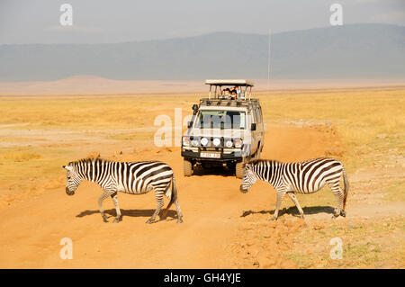 zoology / animals, mammal (mammalia), zebra (Equus quagga), two zebras crossing dirty road, Additional-Rights-Clearance - Stock Image