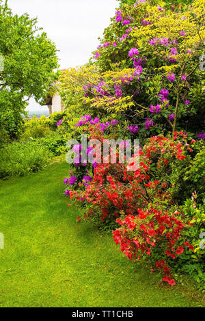 Purple rhododendron and red azalea flowers growing in a garden in north east Italy. They are wet from recent rain - Stock Image