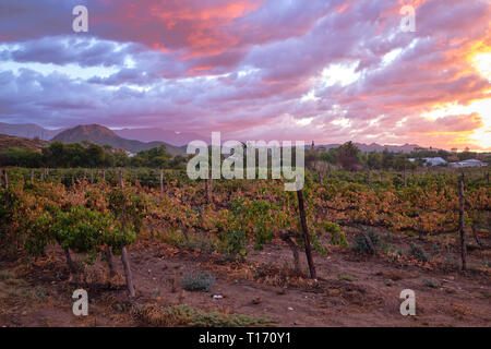 Vineyard seen from street with Swarzberg mountaing range and village of Calitzdorp in background at sunset - Stock Image