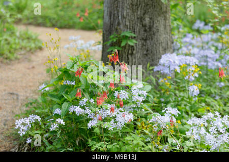 Walkway with border of Aquilegia canadensis and light blue Phlox - Stock Image