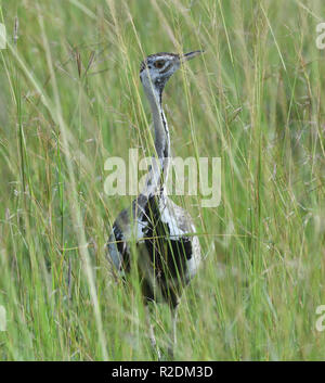 A male black-bellied bustard (Lissotis melanogaster) or black-bellied korhaan in long grass. Queen Elizabeth National Park, Uganda. - Stock Image