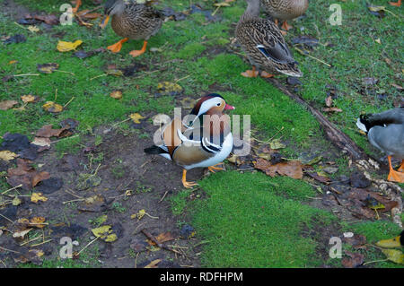 Male mandarin duck surrounded by a group of Mallard female ducks - Stock Image