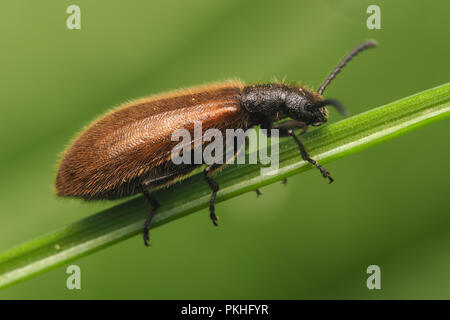 Darkling Beetle (Lagria hirta) perched on blade of grass. Tipperary, Ireland - Stock Image