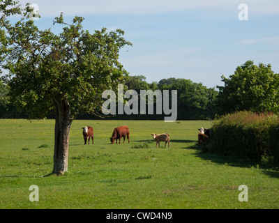 Pretty field of mixed beef cattle and calf. Oxfordshire - Stock Image