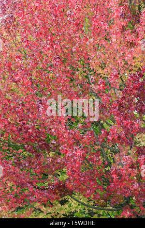 Liquidambar styraciflua 'Lane Roberts'  leaves in Autumn. - Stock Image