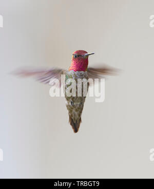 Anna's Hummingbird Male Hovering - Stock Image