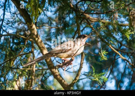 Native wattlebird at Lake Daylesford, western Victoria, Australia - Stock Image