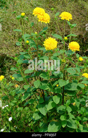 yellow Helianthus multiflorus flowers bloom on a bush in a garden in zala county hungary - Stock Image