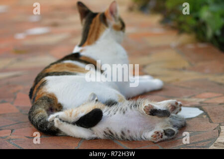 Kitten tortoiseshell cat playing with adult mum tail - Stock Image