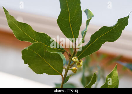 The young flower buds on a bay laurel tree - Stock Image