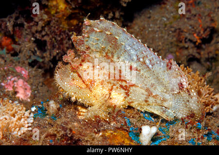 Leaf Scorpionfish, Taenianotus triacanthus, white and red variation. Also known as a Paperfish and Paper Scorpionfish. Tulamben, Bali, Indonesia - Stock Image