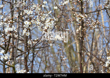 Hawthorn blossoms, also called May tree, in bloom in the Snape Warren in Suffolk England - Stock Image