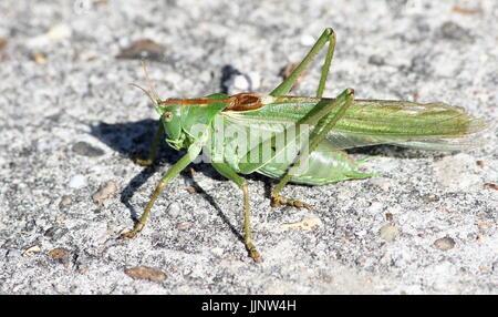European Great Green Bush Cricket (Tettigonia viridissima) in closeup. - Stock Image
