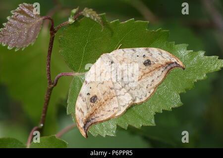 European Pebble Hook-tip Moth (Drepana falcataria) in closeup, dorsal view. - Stock Image