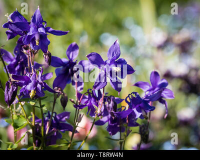 Dark purple Columbine (Aquilegia vulgaris) flowers in a flower border. - Stock Image