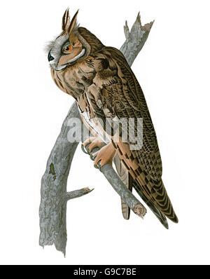Long-eared Owl, Asio otus, birds, 1827 - 1838 - Stock Image