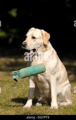 Blonde Labrador-Retriever dropping a dummy - Stock Image