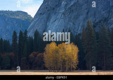 Quaking Aspen trees during fall. Yosemite Valley, Yosemite National Park, Mariposa County, California, USA - Stock Image