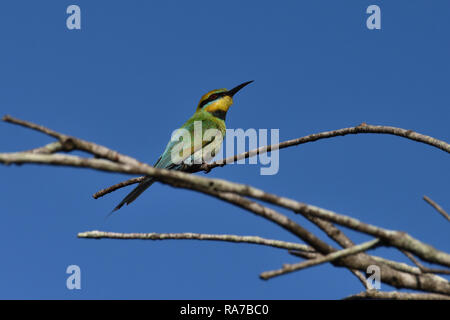 An Australian, Queensland Female Rainbow Bee-eater ( Merops ornatus ) perched on a tree branch looking for Bees - Stock Image
