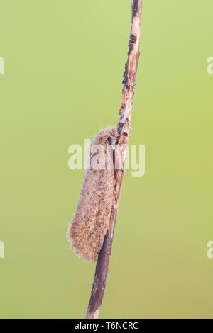 A dew-covered moth (Noctuinae) warms up on its overnight roost in the early morning. - Stock Image