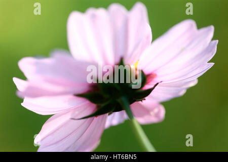 end of flowering season - cosmos sonata delicate pink flower early autumn sunligh t Jane Ann Butler Photography - Stock Image