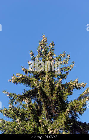 Clusters of conifer cones hanging from the crown of a Norway Spruce tree, Vancouver, BC, Canada - Stock Image