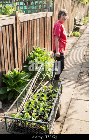 Female gardener pulling a trolley containing seed trays at her allotment, England, UK - Stock Image