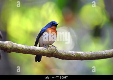 A male Indochinese Blue Flycatcher (Cyornis sumatrensis indochina) in the forest in West Thailand. Formally conspecific with Tickell's Blue Flycatcher - Stock Image