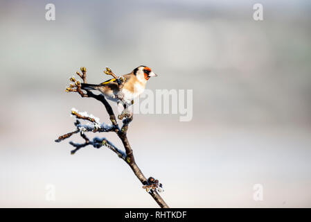A European Goldfinch, Carduelis carduelis, perched on a frosty twig against a totally defocussed, snowy background - Stock Image