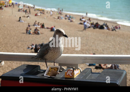Brighton, UK - September 1 2018: A seagull ramages though leftovers on the Brighton Pier  on 1​ September 2018.   The Pier, in the central waterfront section, opened in 1899 houses amusment rides as well as food kiosks .Credit: David Mbiyu Credit: david mbiyu/Alamy Live News - Stock Image
