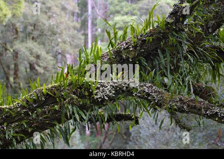 Bright green leafy moss tendrils growing on branches suspended in the canopy. - Stock Image