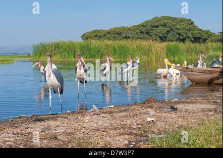 Marabou storks (Leptoptilos crumeniferus) and white pelicans (Pelecanus onocrotalus), Awasa harbour, Ethiopia - Stock Image