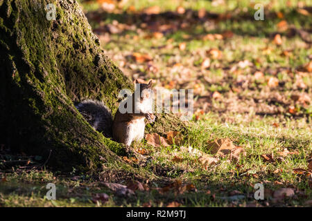 A Grey Squirrel is busy collecting and feeding on acorns at the base of a tree in bright sunshine in Barnett Demesne, Belfast, N.Ireland. - Stock Image